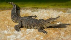 Jardim zoológico de Tailândia da água salgada do crocodilo Foto de Stock Royalty Free