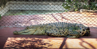 Jardim zoológico de Tailândia da inutilização da água salgada do crocodilo Fotos de Stock