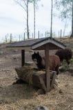 Jardim zoológico do ar livre da alpaca foto de stock