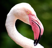 Jardim zoológico do jérsei - maior flamingo que enfeita-se o pescoço Fotos de Stock
