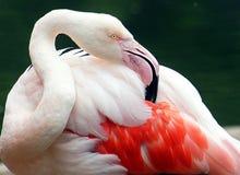 Jardim zoológico do jérsei - o maior flamingo que enfeita-se a asa empluma-se Imagem de Stock Royalty Free