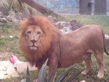 jardim zoológico do posandome de leon Fotos de Stock Royalty Free
