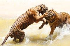 Jardim zoológico do tigre, Sriracha Tailândia Fotografia de Stock