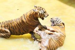 Jardim zoológico do tigre, Sriracha Tailândia Imagens de Stock Royalty Free