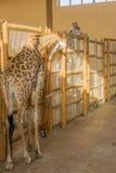 Jardim zoológico dos girafas Imagens de Stock Royalty Free