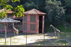 Jardim zoológico dos girafas Foto de Stock Royalty Free