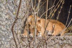Jardim zoológico fêmea Amsterdão de Lion Sleeping Behind Bushes At Artis os Países Baixos imagem de stock