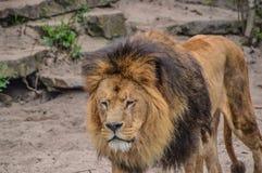 Jardim zoológico masculino de Lion Walking Around At The Artis fotografia de stock