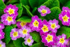 Jardin éternel de primevère ou de primevère au printemps Primevères dedans images libres de droits