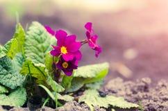 Jardin éternel de primevère ou de primevère au printemps Photo libre de droits