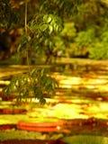 Jardin 2, Îles Maurice de Pamplemousses Photographie stock libre de droits