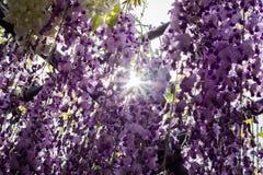 Jardin accrochant de belle glycine au Japon au printemps photo stock