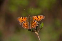 Jardin animal de macro d'insec de nature de papillon Image stock