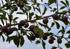 Jardin, arêtes, terre, pousses, vert, agriculture, récolte, fruit, été, prune, cerise, cerise, épine, automne, entreprise, croiss photo stock