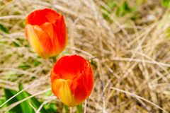 Jardin avec beaucoup de tulipes oranges Photos libres de droits
