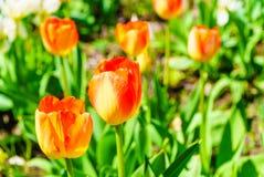 Jardin avec beaucoup de tulipes oranges Image libre de droits