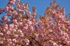 Jardin avec des arbres de fleur de ressort Fleurs de cerisier japonaises au printemps photos libres de droits