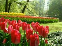 Jardin avec des tulipes Photos libres de droits