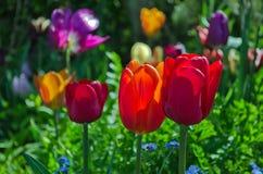 Jardin avec des tulipes Photographie stock libre de droits