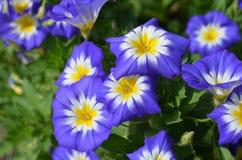 Jardin avec fleurir gloires de matin bleues et jaunes Photographie stock libre de droits