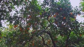 Jardin avec les arbres oranges closeup banque de vidéos