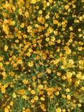 Jardin avec les fleurs jaunes Image stock
