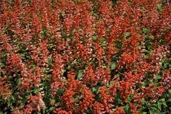Jardin avec les fleurs rouges Image libre de droits