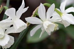 Jardin blanc de jonquilles au printemps Photographie stock
