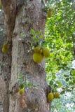 Jardin botanique de Peradeniya photos libres de droits