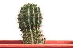 Jardin : Cactus vert Images stock