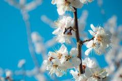 Jardin coloré de source Abricot de floraison sensible de fleurs blanches dans le jardin ensoleillé Photos stock