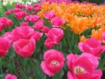 Jardin coloré de tulipe avec des rangées des fleurs rougeâtres et oranges image libre de droits