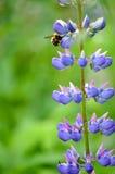 Jardin coloré des fleurs de loup de floraison Photographie stock