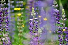 Jardin coloré des fleurs de loup de floraison Photo stock