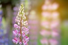 Jardin coloré des fleurs de loup de floraison Image stock