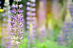 Jardin coloré des fleurs de loup de floraison Images stock