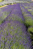 Jardin complètement de lavande dans le ³ W d'Ostrà 40 kilomètres de Cracovie L'odeur et la couleur de la lavande permet à des vis photos libres de droits