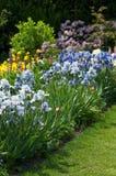 Jardin complètement des iris Photo libre de droits