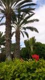 Jardin con palmeras y flor. Jardín con Palmeras y Flor. Tomada en Fuerteventura, Islas Canarias, España. Garden with palm trees and flower. Taken in stock image