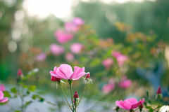 Jardin d'agrément de Rose Photo stock