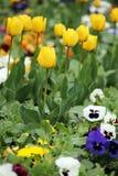 Jardin d'agrément de tulipe et de pensée Photographie stock libre de droits