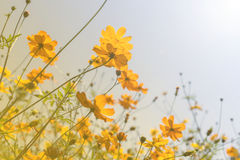 Jardin d'agrément jaune de cosmos dans le jour ensoleillé Photographie stock libre de droits