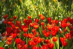 Jardin d'agrément rouge de tulipes dans le lever de soleil de matin Photos stock