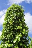 Jardin d'arbre de poivre à la lumière du soleil sur Phu Quo Image libre de droits