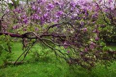 Jardin d'arbre lilas de floraison avec une branche cassée Photo libre de droits