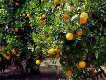 Jardin d'arbres oranges avec beaucoup de fruits Photographie stock