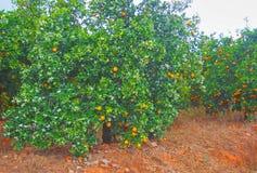 Jardin d'arbres oranges complètement des oranges photos stock