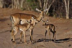 Jardin d'enfants d'Impala Photos libres de droits