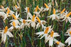 Jardin d'expérience, maïs jaune, Vietnam, agriculture, maïs images libres de droits