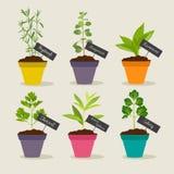 Jardin d'herbes aromatiques avec des pots de l'ensemble 3 d'herbes Photo stock